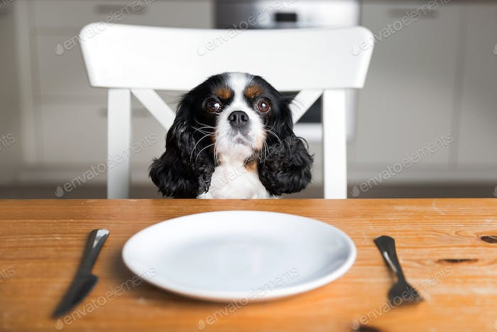 Dog by the table with empty plate