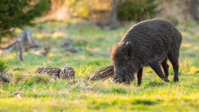 Wildschweinfamilie ernährt sich in der Frühlings-Natur auf Weide