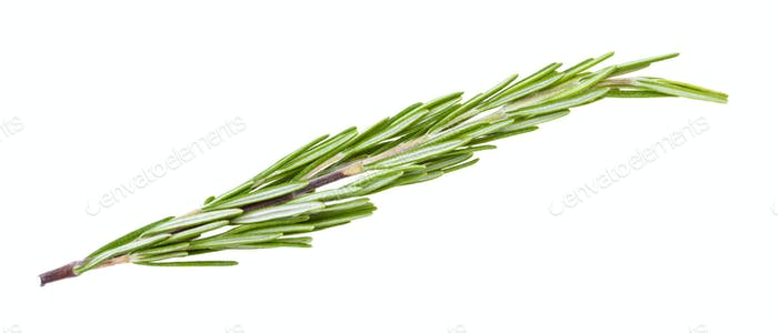 separate twig of fresh rosemary herb isolated