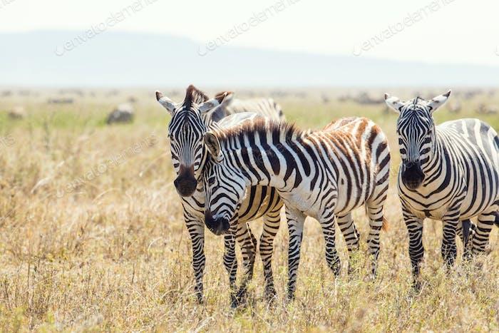 Zebra friends in Serengeti Tanzania