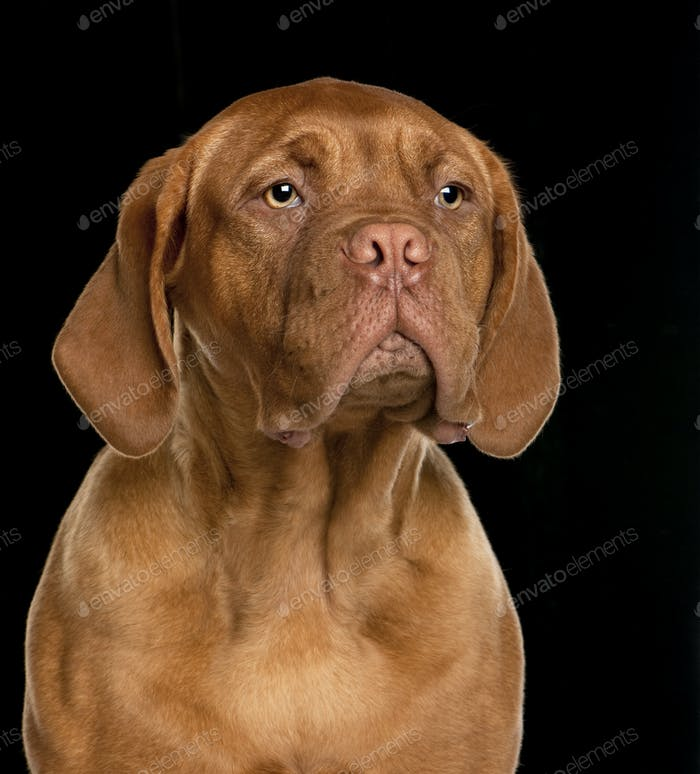 Dogue de Bordeaux puppy (6 months old)
