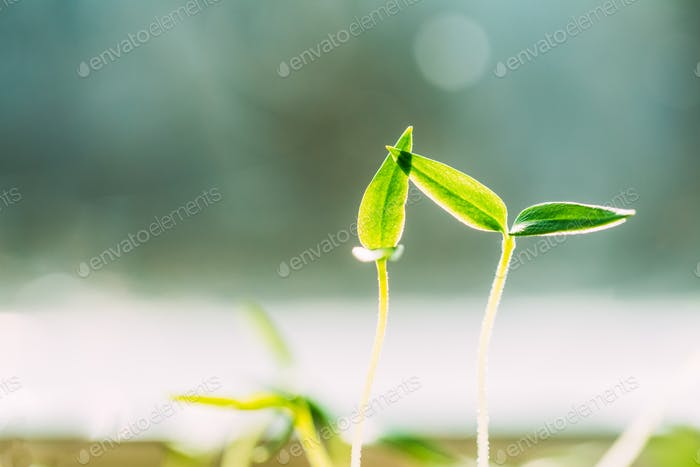 Two Green Sprouts With Leaf, Leaves Growing From Soil. Spring, N