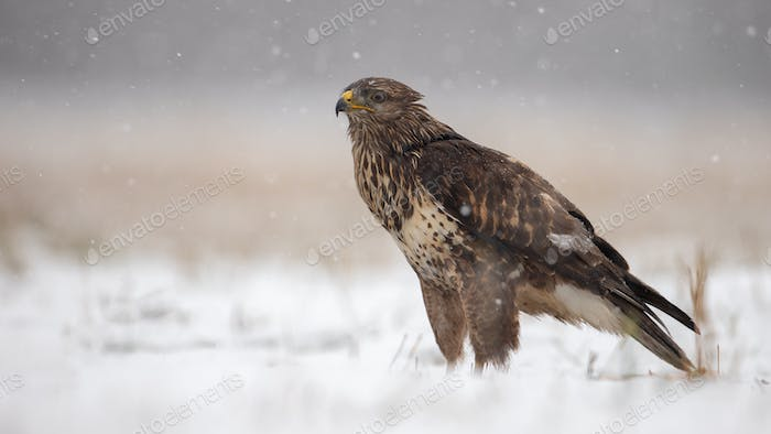 Common buzzard standing on the ground covered in snow in winter