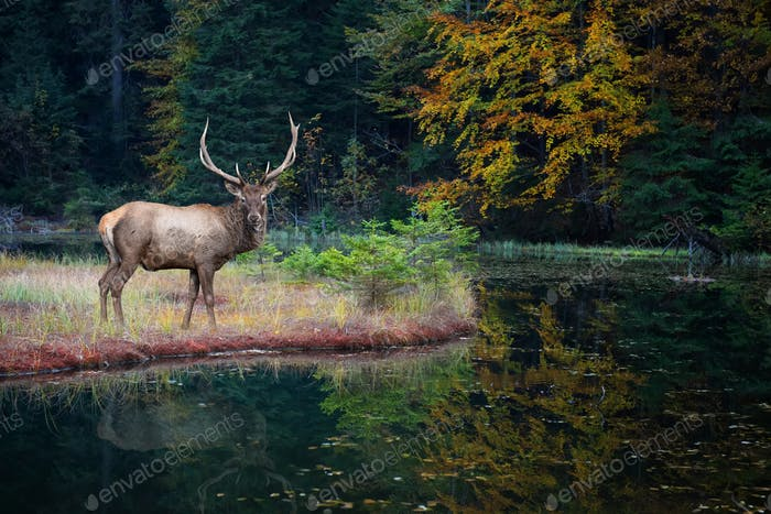 Beautiful deer stands on the shore of an autumn forest lake