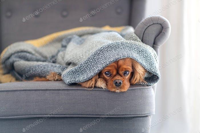 Dog under the blanket