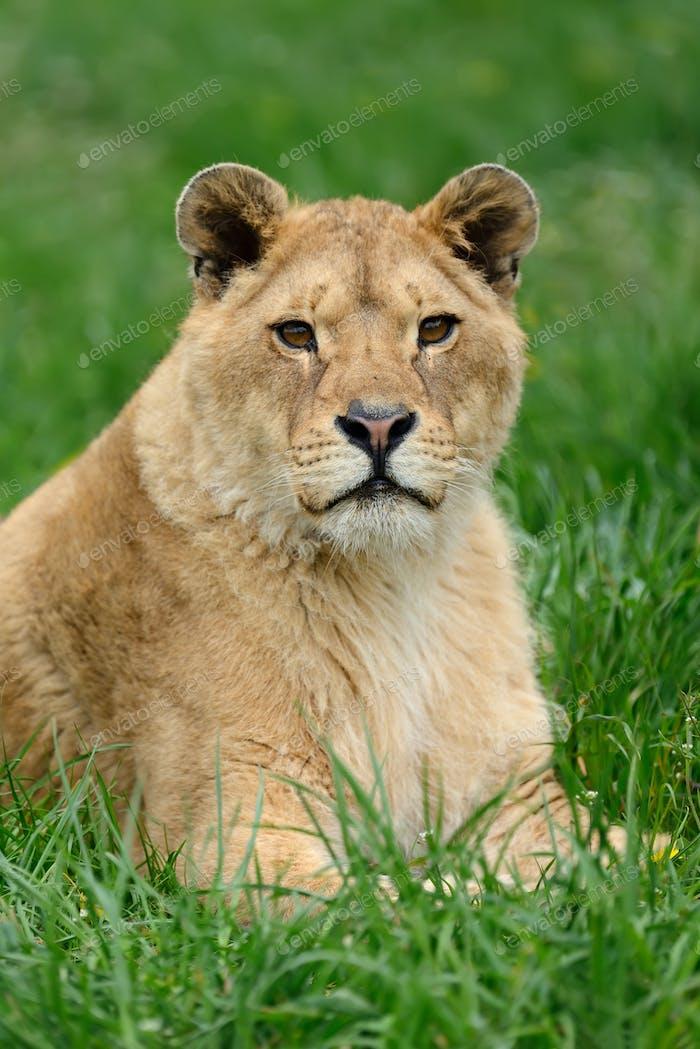 Löwe im grünen Gras
