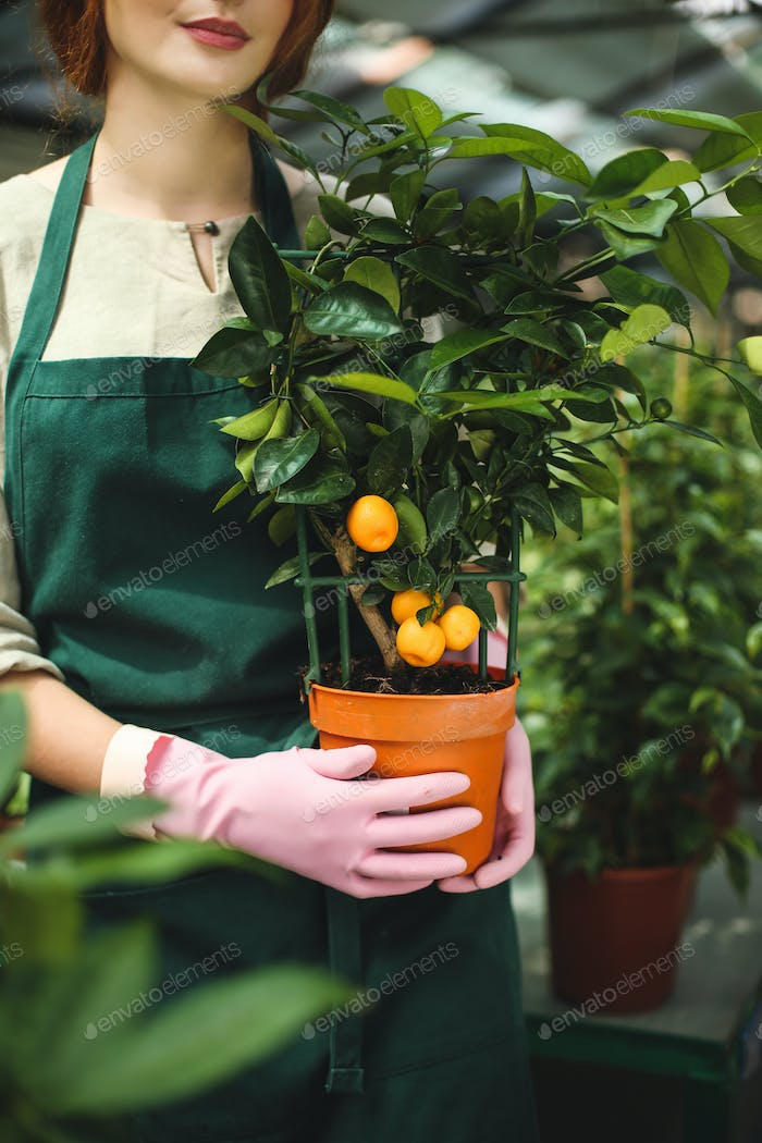 Close up woman hands in pink gloves holding little mandarin tree in pot in greenhouse