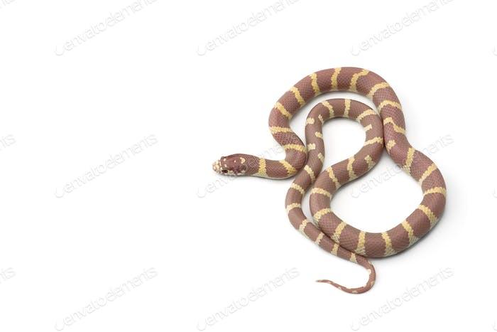 Colorful King snake isolated on white background