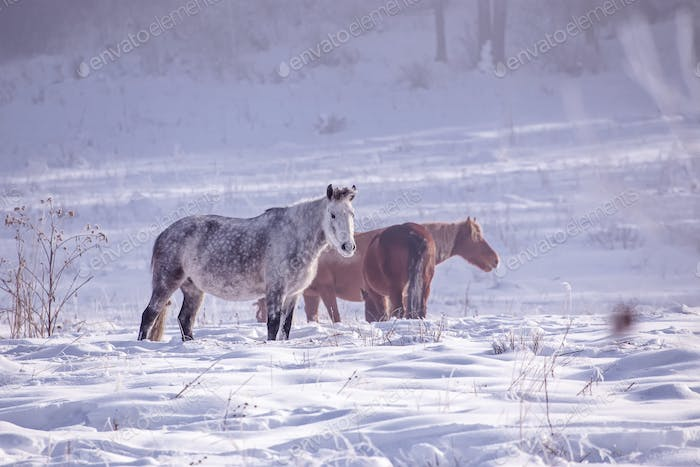 Horses stay and eat herb in the snowy woods in winter