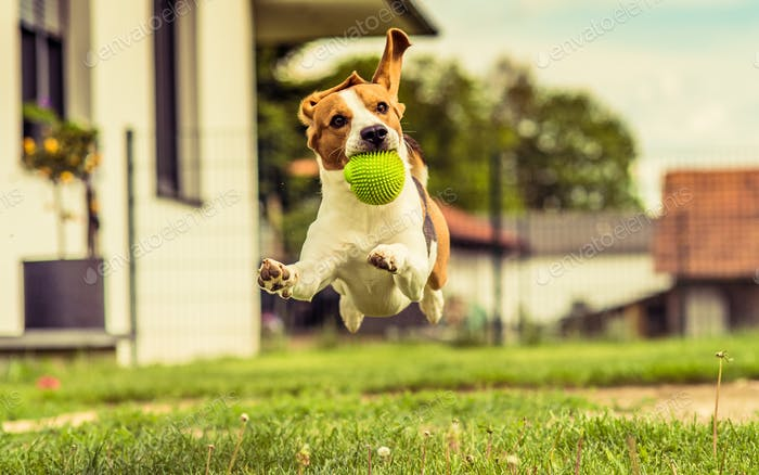 Hund laufen Beagle Spaß