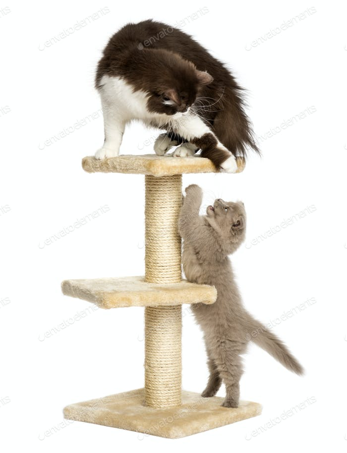 Cats playing on a cat tree, isolated on white