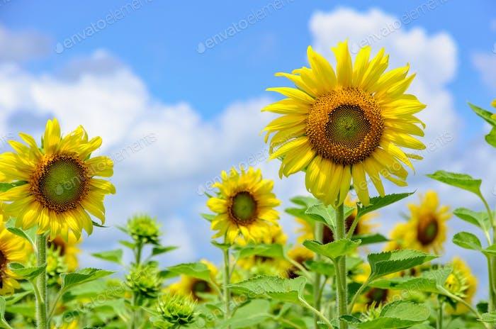 Sunflower or Helianthus Annuus on sky background