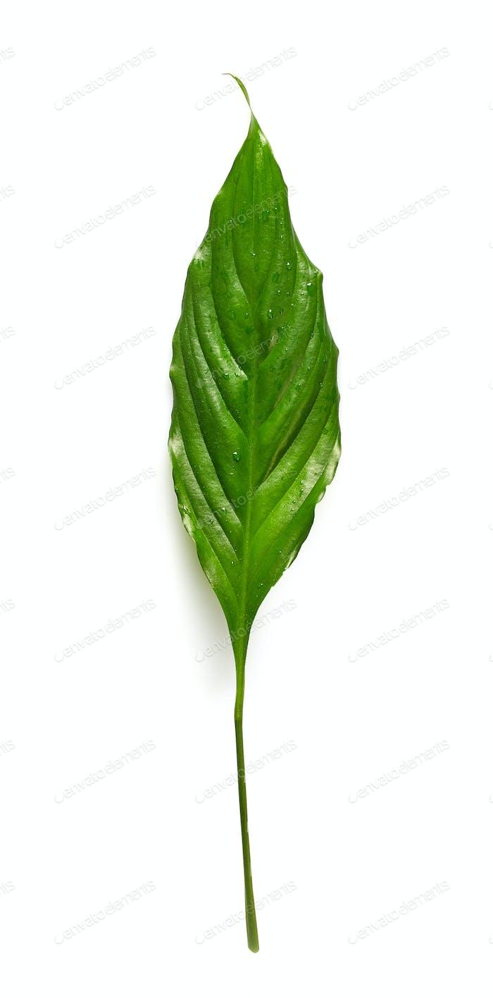 grünes tropisches Blatt