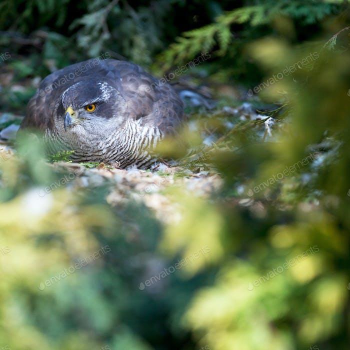 Falke sitzt auf Eiern