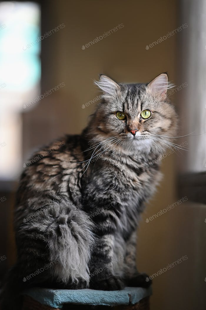 Adorable main coon cat sitting on table over orderly living room as background.