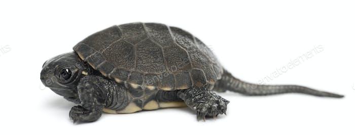 European pond turtle, also called the European pond terrapin, Emys orbicularis, 6 months