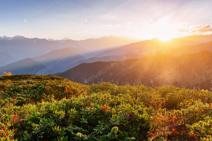Blooming rhododendron flowers in Caucasus mountains