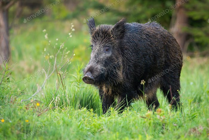 Adult wild boar with big snout looking for some freshfood on the forest clearing