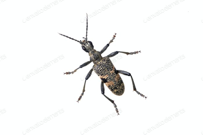 Beetle Rhagium mordax on a white background