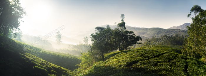 Panorama of Beautiful Sunrise Tea Plantation Concept