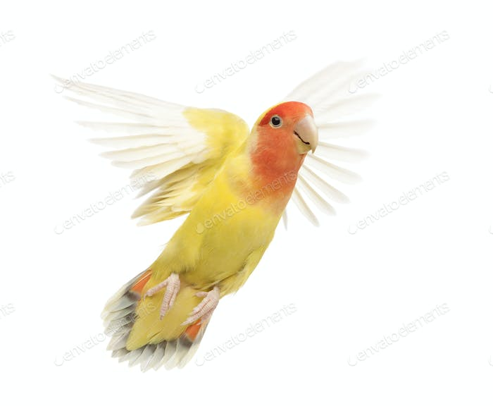 Portrait of Rosy-faced Lovebird flying, Agapornis roseicollis, also known as the Peach-faced
