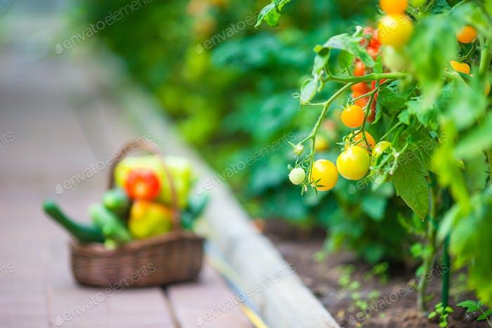 Nahaufnahme Korb mit Grün und Vagetables im Gewächshaus. Zeit für die Ernte