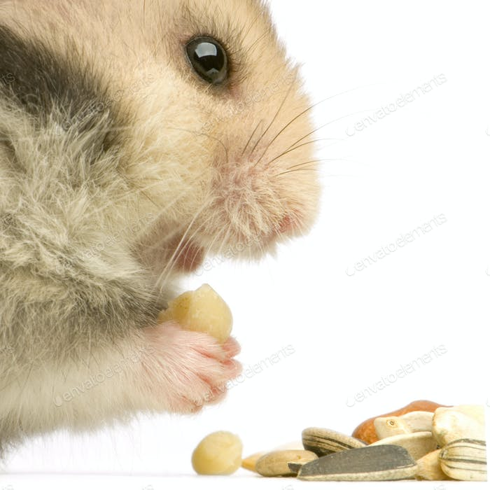 Hamster
