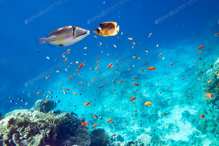 Yellow butterfly fish and picasso fish on a coral reef