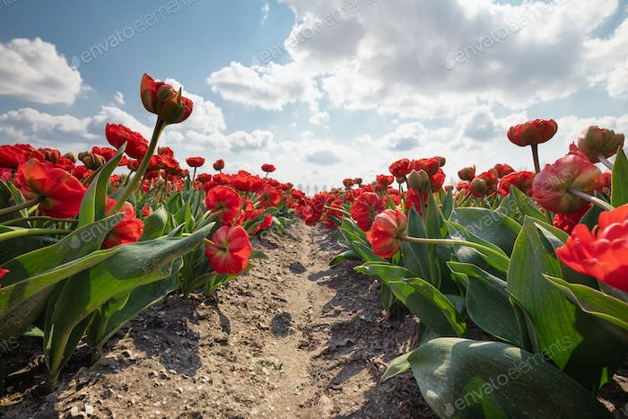red tulip field in spring and blue sky