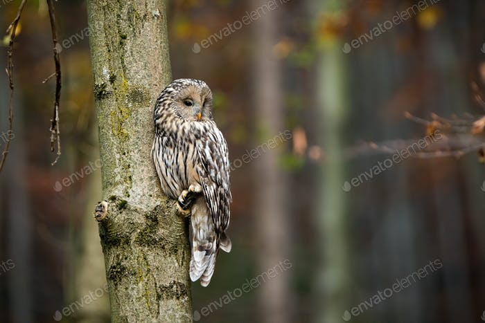 Wild ural owl observing from a tree in forest with copy space