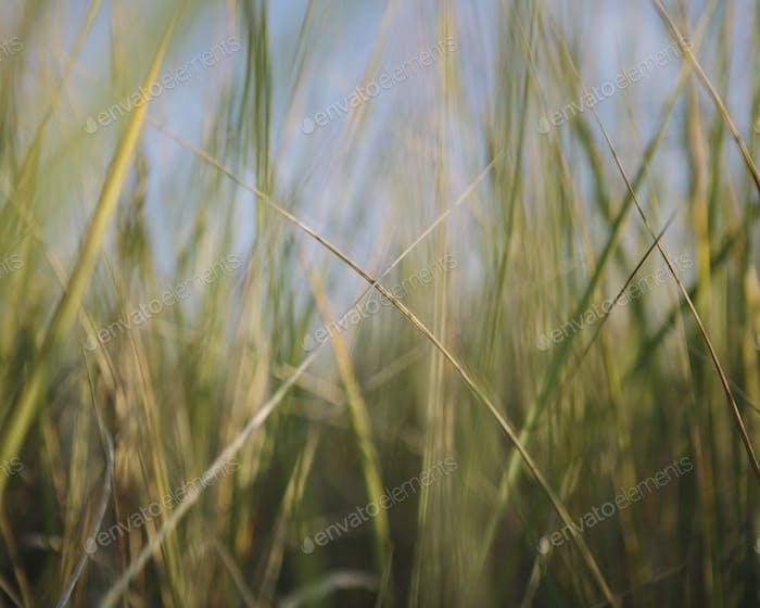 Low angle view of windswept sea grasses, Long Beach Peninsula