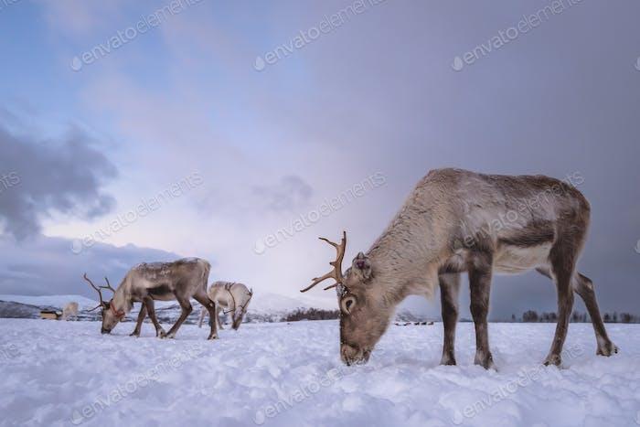 Herd of reindeers looking for food