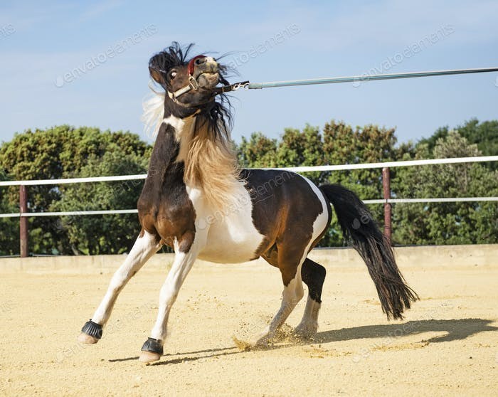 retive pony in lunge