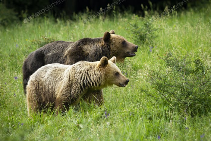 Couple of brown bear in courtship on meadow in green summer nature