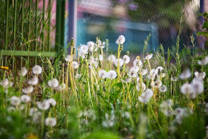 Dandelion field - dandelion seeds