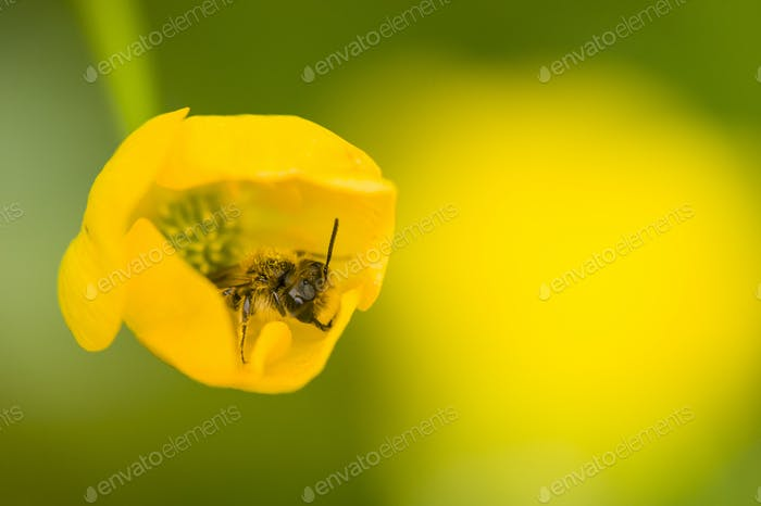 Little wasp fly on yellow flower