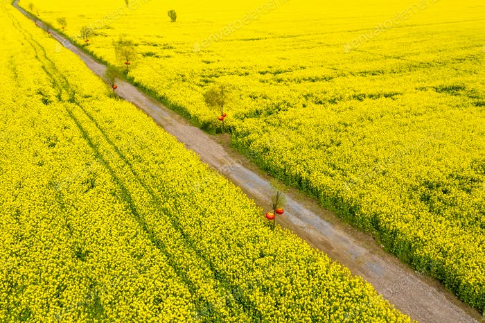 rapeseed flower field and sightseeing path