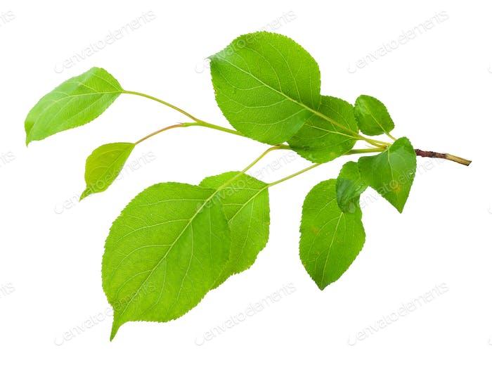Junger Apfelbaum Zweig