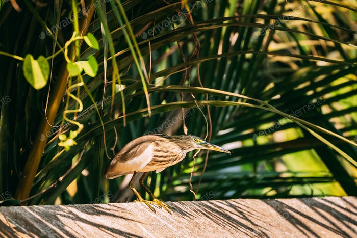 Goa, India. Indian Pond Heron Sitting On Crossbar In Sunny Day