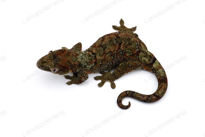 The mossy New Caledonian gecko isolated on white background