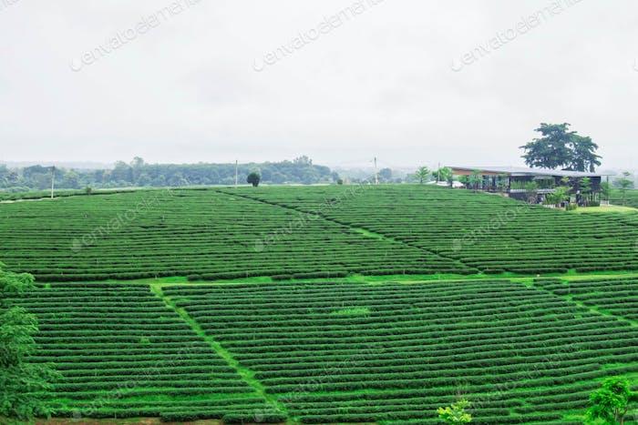 tea plantations and the sky
