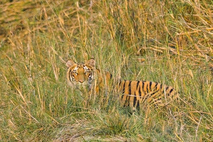 Bengalischer Tiger, Königlicher Bardia-Nationalpark, Nepal