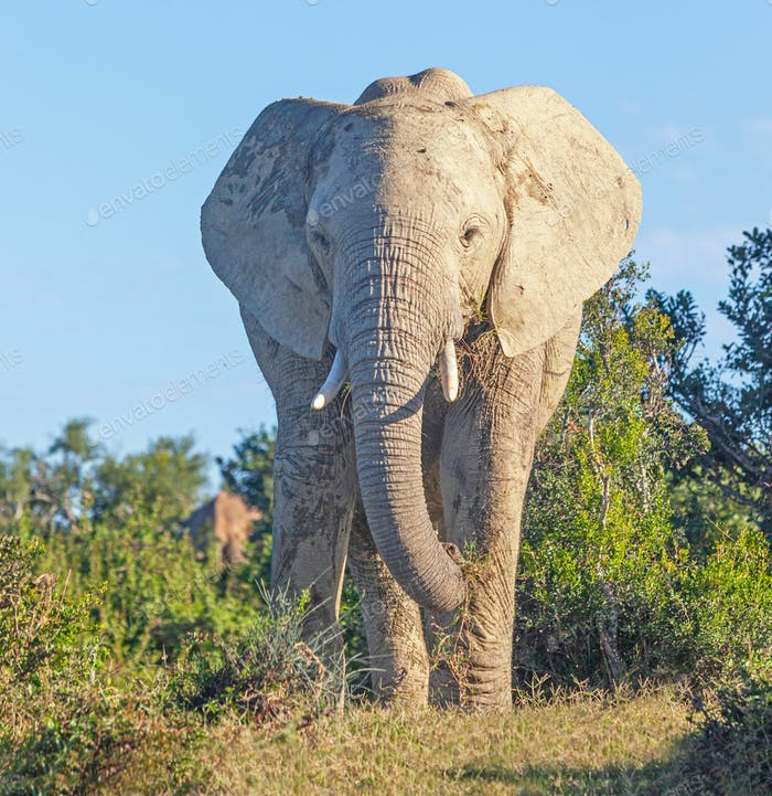 Close Encounter With a Large Elephant