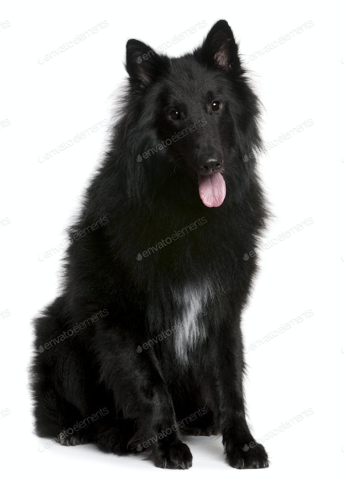 Belgian Shepherd Dog (Groenendael) (1 year old)