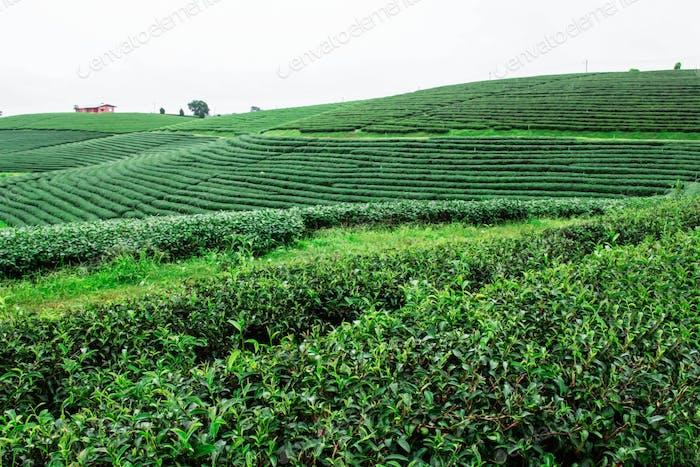 Plantación de té en la colina