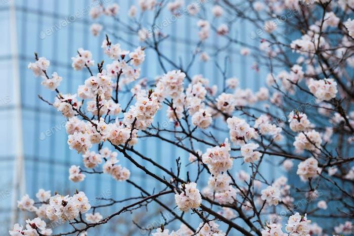 Blühende Sakura Blumen in der Nähe
