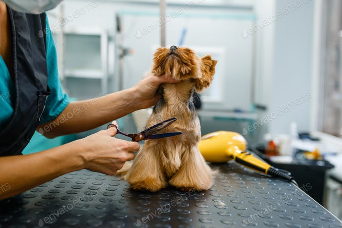 Female groomer with scissors cuts hair of cute dog