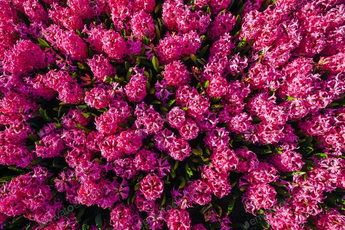 Rosa Blumen in den Gärten