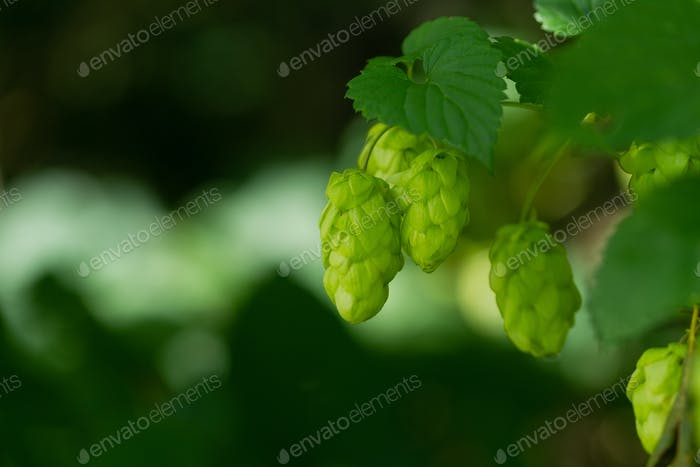 Flowering green hops closeup, nature light