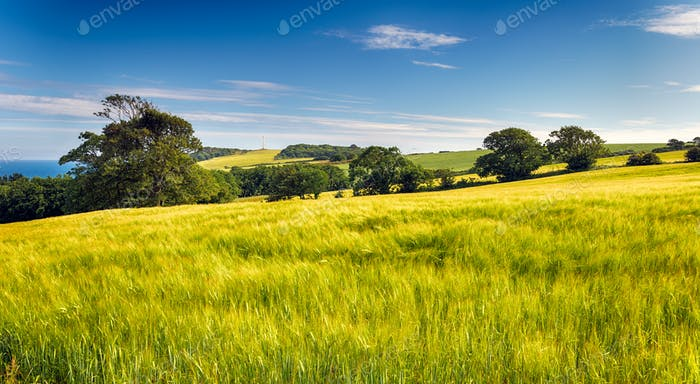 Summer Barley Fields